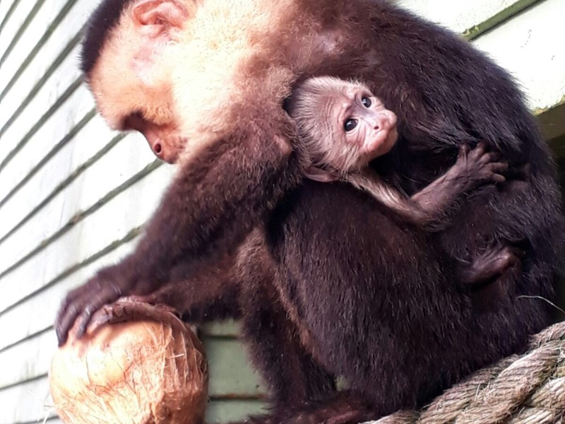 Lulu, with the new baby cappuchin, at the Isle of Wight Monkey Haven.
