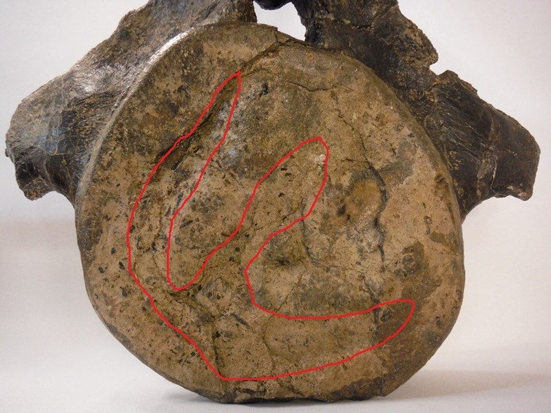 The Brachiosaur vertebra with footprint.