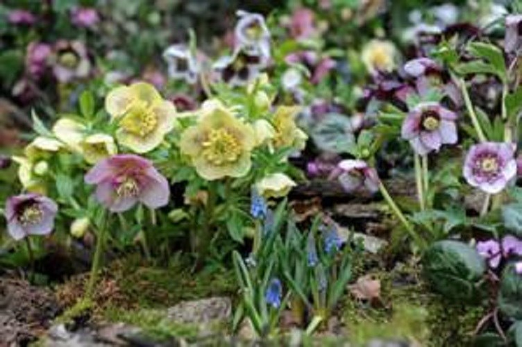 Thompson & Morgan hellebores.