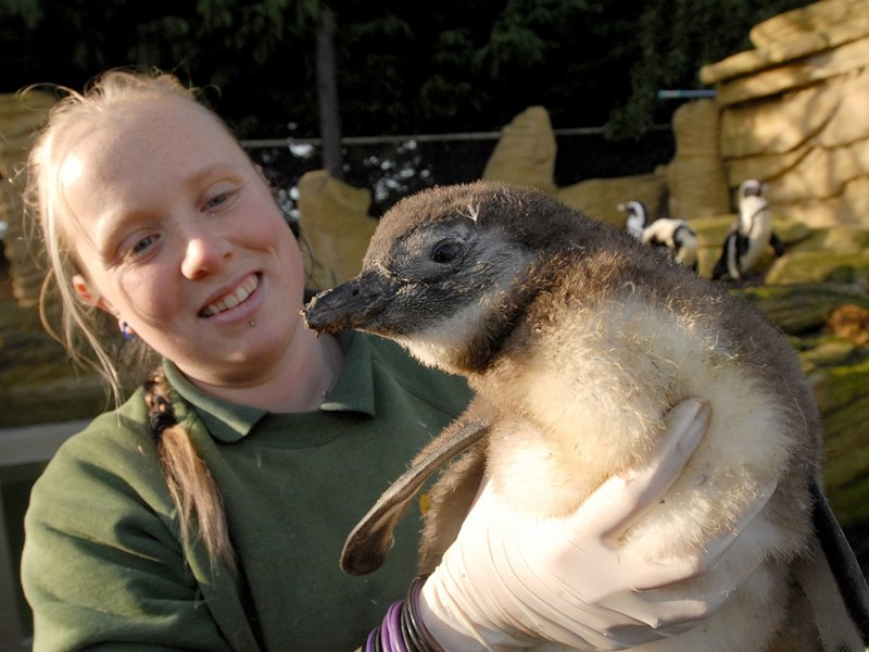 Ten years ago: After Toga the penguin was snatched from Amazon World there was happier news when baby penguins were hatched. Stacey Payne is pictured with the oldest one.