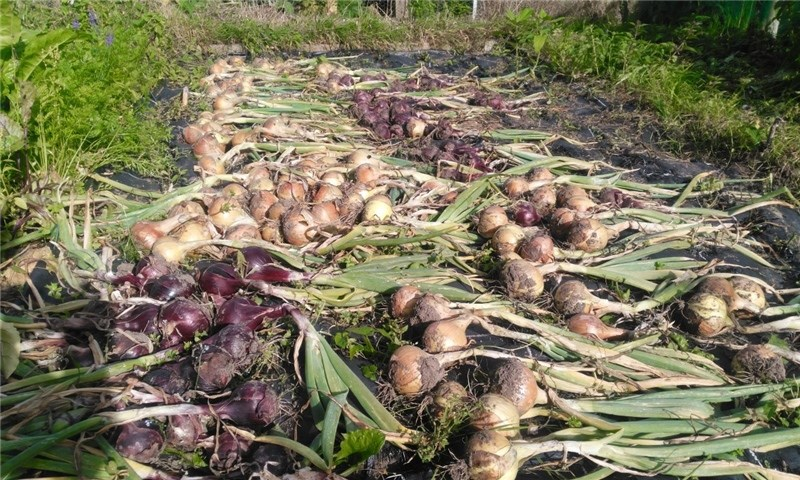 Onions lifted and drying in the sun. Inset: three varieties of onion — red baron, hytech and sturon.