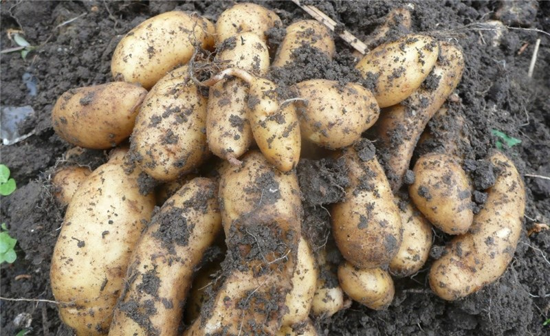 Ratte potatoes. Pictures by Roseanna Wright