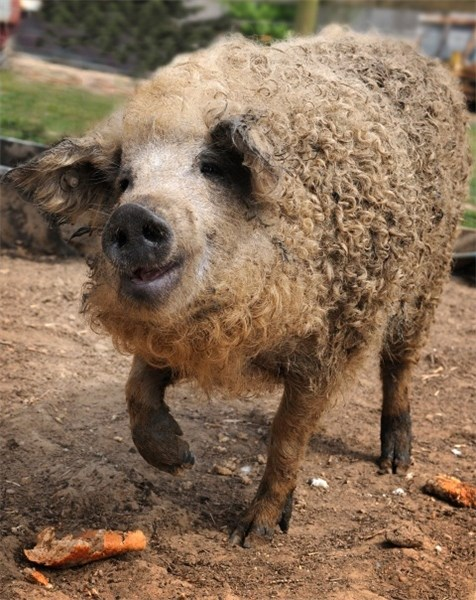Curly-haired pig thinks it's a sheep